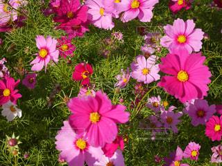 花,ピンク,緑,コスモス,秋空