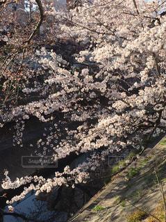 春,散歩,さくら,川べり,パステルピンク