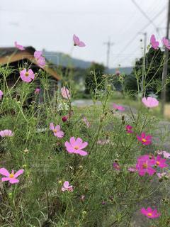 花,秋,コスモス,田舎,コスモスに隠れる子供