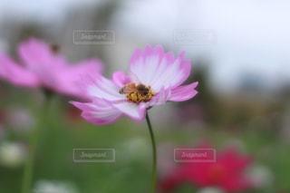 秋,ピンク,コスモス,蜂,秋桜