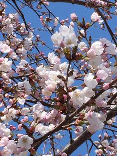 空,春,桜,屋外,ピンク,枝,樹木,草木,ソメイヨシノ,五稜郭公園
