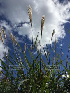 空,秋,屋外,ススキ,秋空,草木
