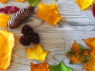 綺麗な色の葉っぱみつけましたの写真・画像素材[1537780]
