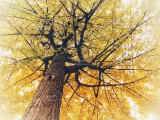 秋,紅葉,木,黄色,北海道,見上げる,未来,イチョウ,銀杏,黄,ポジティブ,希望