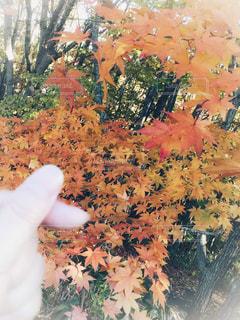 紅葉と指ハートの写真・画像素材[1591644]