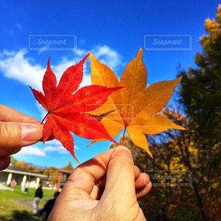 もみじの葉を持っているふたりの手の写真・画像素材[1596315]