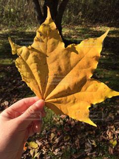 大きい紅葉した葉っぱを持っている手の写真・画像素材[1613300]