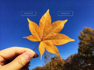 黄色い葉っぱを持つ手の写真・画像素材[1622745]
