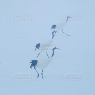雪,白,歩く,北海道,仲良し,鶴,3,一緒,丹頂鶴,仲良く,三羽