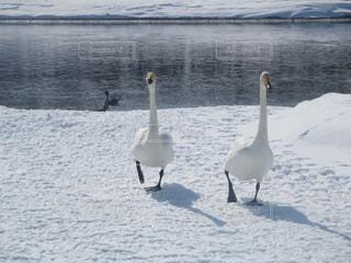 雪,白,歩く,北海道,仲良し,白鳥,2,一緒,二羽,仲良く