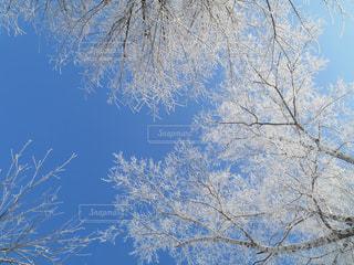 自然,絶景,白,北海道,氷,樹木,キラキラ,朝,寒い,奇跡,ラッキー,極寒,銀世界,マイナス,霧氷,フォトジェニック,真っ白,帯広,インスタ映え,マイナス気温