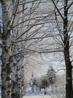 公園,白,北海道,氷,樹木,キラキラ,朝,寒い,極寒,銀世界,マイナス,霧氷,フォトジェニック,真っ白,帯広,インスタ映え,マイナス気温
