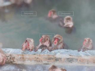 函館熱帯植物園の猿の写真・画像素材[1793092]