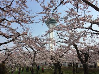 五稜郭タワーと桜の写真・画像素材[1793695]
