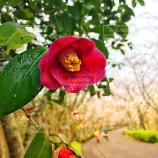 緑の葉と赤い花の写真・画像素材[1936574]