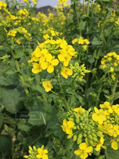 菜の花の写真・画像素材[1983540]