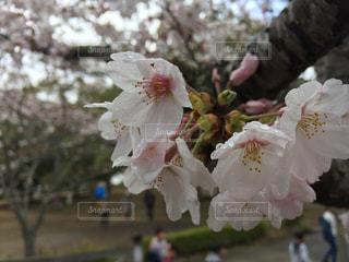 春,桜,水滴,花見,人物,人,キラキラ,雨上がり,雫,雨粒