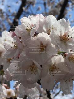 春,桜,青空,水滴,花見,キラキラ,雨上がり,雫,雨粒,ソメイヨシノ,晴れ間