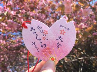 春,桜,ピンク,晴れ,ハート,幸せ,八重桜,おみくじ,ラッキー,大吉,運,強運,牡丹桜,さくらみくじ,桜みくじ