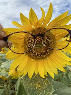 ひまわりとメガネの写真・画像素材[3642006]