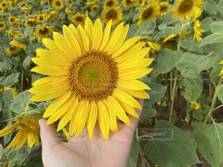 花,夏,ひまわり,黄色,鮮やか,手持ち,人物,元気,ポートレート,カラー,ライフスタイル,草木,手元