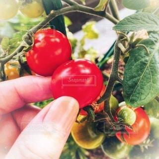 食べ物,手持ち,トマト,野菜,人物,ポートレート,家庭菜園,ベランダ菜園,収穫,ライフスタイル,手元