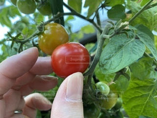 食べ物,屋外,手,トマト,野菜,人,食品,家庭菜園,ベランダ菜園,収穫,指先,プチトマト,食材,フレッシュ,ベジタブル