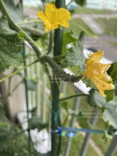 食べ物,花,黄色,手,野菜,食品,キュウリ,家庭菜園,新鮮,トゲトゲ,ベランダ菜園,指先,自家製,食材,採れたて,フレッシュ,ベジタブル,チクチク,花付き,花付きキュウリ