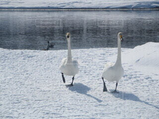 雪の上を歩く白鳥の写真・画像素材[4169619]