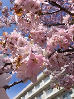 桜のクローズアップの写真・画像素材[4272521]