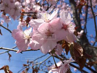 木の枝に咲く桜の写真・画像素材[4272538]