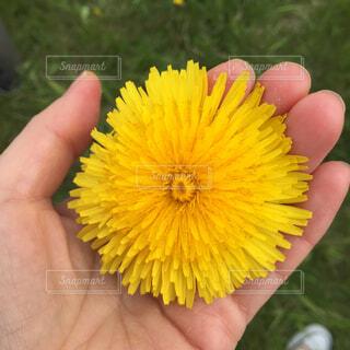 大きなたんぽぽの花を持つ手の写真・画像素材[4298401]
