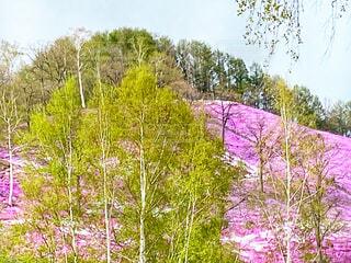 白樺と芝桜の写真・画像素材[4420658]