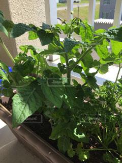 ベランダ菜園のトマトとパセリの写真・画像素材[4534031]