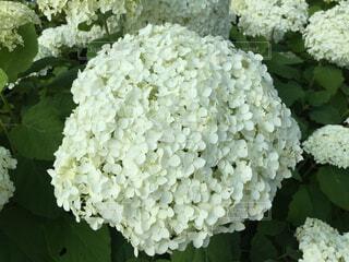白い紫陽花の写真・画像素材[4556692]