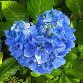 ハートの紫陽花の写真・画像素材[4556699]
