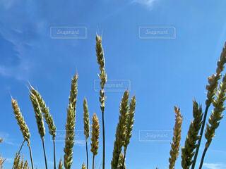 小麦と青空の写真・画像素材[4645793]