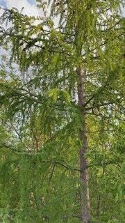 木々と蝦夷蝉の鳴き声の写真・画像素材[4645216]