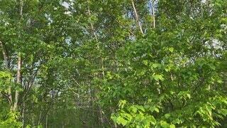 空,夏,木,屋外,緑,北海道,木々,樹木,蝉,草木,6月,鳴き声,蝉の声,蝦夷蝉