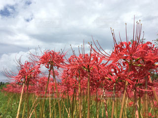 花,秋,屋外,赤,彼岸花,秋空,ひがんばな