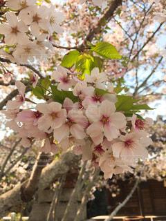 桜の写真・画像素材[1475966]
