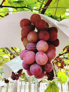 フルーツ,果物,ぶどう狩り,ぶどう,実りの秋,食欲の秋,ピオーネ,インスタ映え