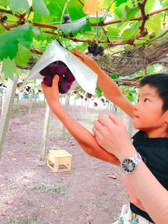 食べ物,親子,果物,ぶどう狩り,ぶどう,食欲の秋,ピオーネ