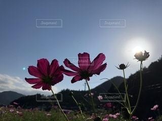 風景,空,花,秋,屋外,赤,コスモス,雲,快晴,秋晴れ,秋空,日中