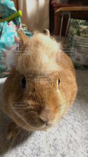 動物,茶色,ウサギ,抜毛,換毛期,ミルクティー色
