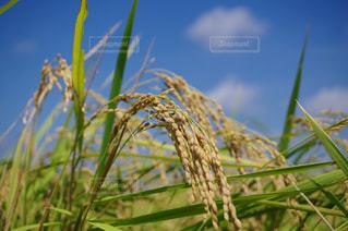収穫間近の写真・画像素材[1473608]