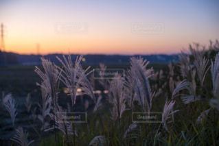 空,秋,屋外,夕暮れ,ススキ,草木