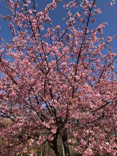 桜,女の子,ピンクの花,恋,満開の桜