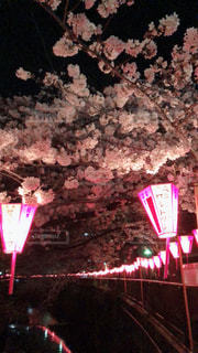 花,桜,ピンク,花見,夜桜,川沿い,ちょうちん,点灯