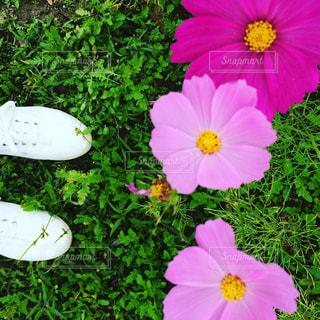 花,植物,コスモス,スニーカー